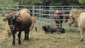 Race bovine Aubrac