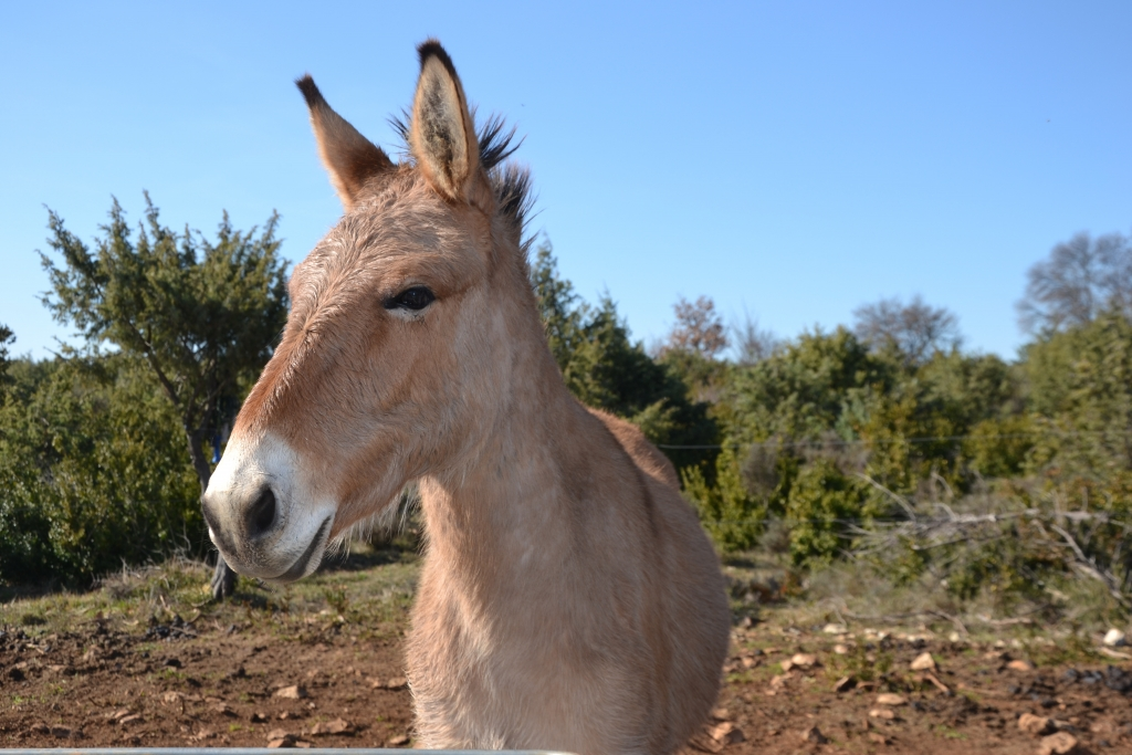 A Bidon, en Ardèche la ferme muletière du Grand Patis produit des animaux qui pour certains sont envoyés dans des centre d'hippothérapie.